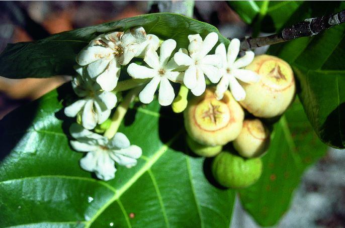 Fleurs (très parfumées) et fruits de Guettarda speciosa, le tafano ou kahaia.