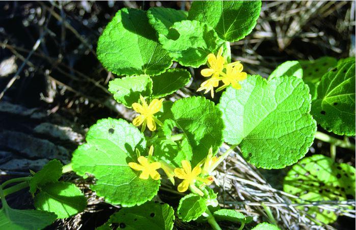 Les petites corolles du vavai (Triumfetta procumbens), liane rampante.