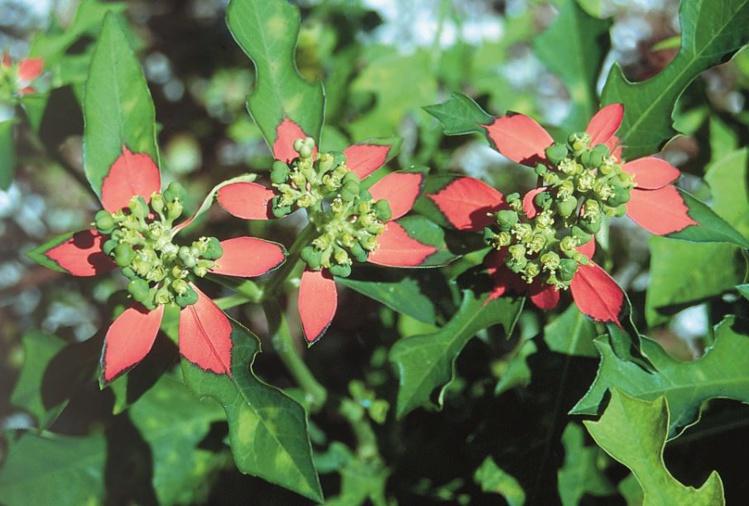 Ces petites euphorbes (Euphorbia heterophylla) se contentent de très peu d'eau et d'un sol médiocre.