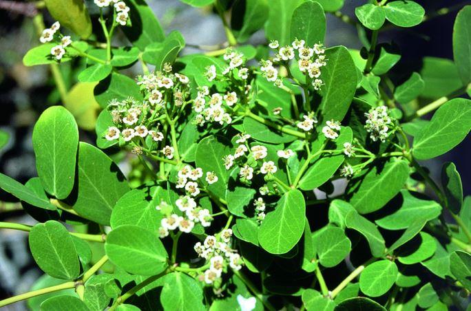 Bosquets de fleurs de atoto (Euphorbia atoto)