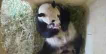 Naissance à Vienne de deux pandas jumeaux conçus naturellement