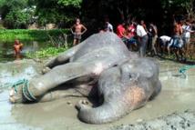 L'éléphant indien perdu au Bangladesh est mort
