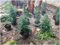 Près de 100 plants de cannabis découverts à Huahine