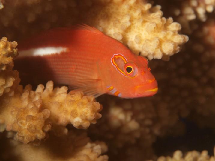 L'épervier strié reste immobile sur son corail, prêt à gober la proie passant à portée.
