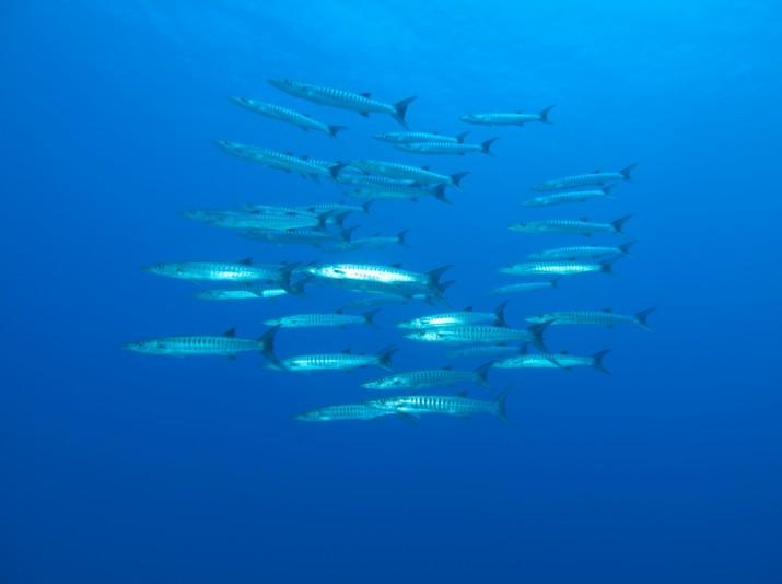 Comme une meute de loups, les barracudas à nageoires noires rôdent en pleine eau.