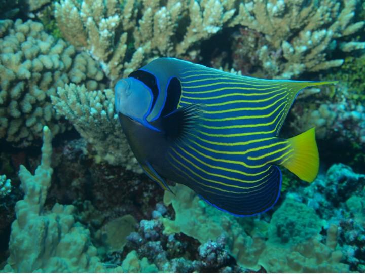Majestueux dans les entrelacs de corail, le poisson empereur est une oeuvre d'art à lui seul.