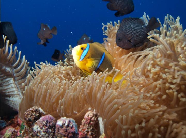 Les petits poissons clowns se réfugient dans les tentacules de leurs anémones de mer, où ils se savent intouchables.