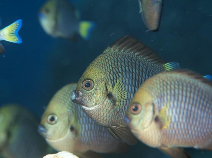 Les demoiselles à queue jaunes restent toujours à proximité immédiate des coraux.