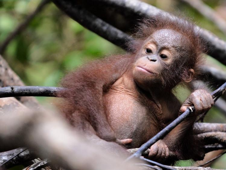 A l'école pour orangs-outans dans la jungle de Bornéo