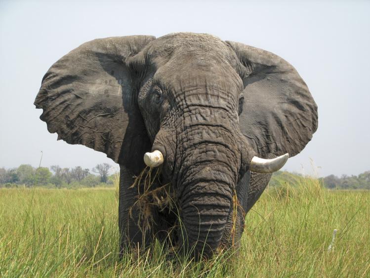 Les éléphants des savanes ont décliné de 30% entre 2007 et 2014 (recensement)