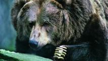 Le karaté sauve un Japonais des griffes d'un ours