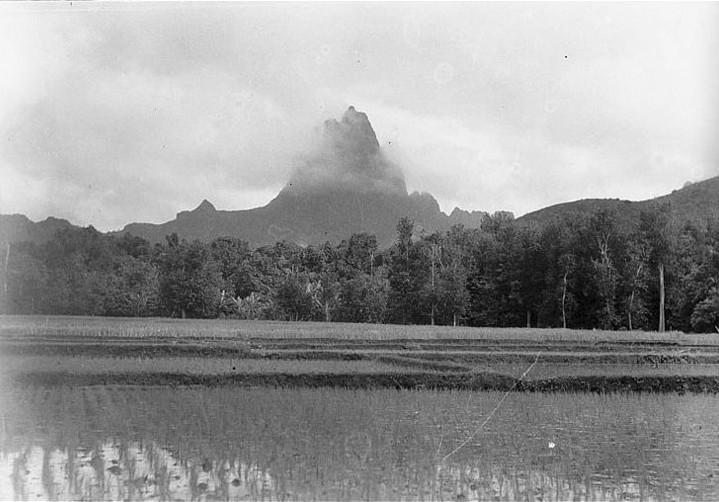 Rizière à Moorea en 1932. Photo Parry