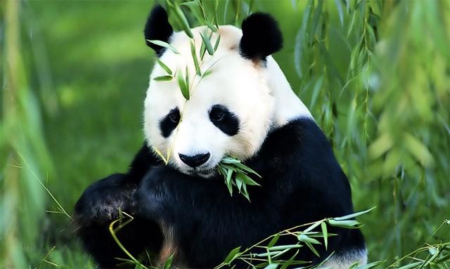 """Le panda géant n'est plus """"en danger"""" mais reste menacé"""