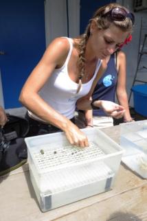 Magalie Soria, en charge des programmes scolaires chez Te Mana o te Moana s'exerce à la restauration récifale.