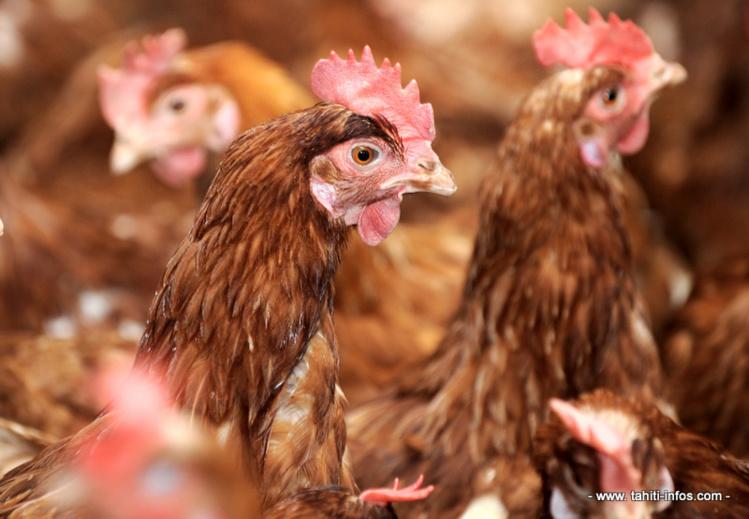 Nouvelle suspicion de salmonellose dans un élevage de poules pondeuses à Papara