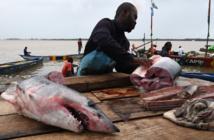 Prédateur devenu proie, le requin en danger
