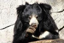 Photo d'un ours lippu.