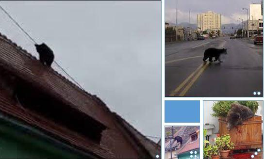 Roumanie: un ours se promène en centre-ville avant d'être abattu