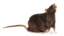 Faits comme des rats? Jakarta offre une récompense par tête de rongeur