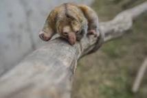 Timides et adorables, un couple de fourmiliers nains stars d'un zoo péruvien
