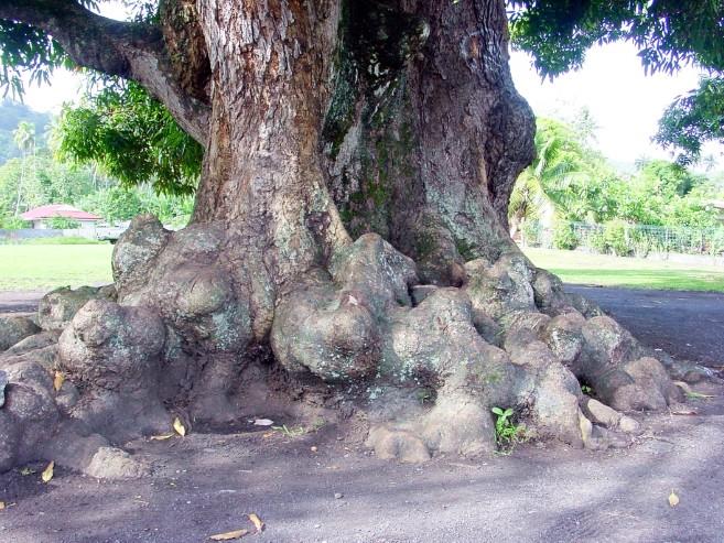 Les racines du vieux manguier en 2002 et en 2003 lors des premières attaques à la tronçonneuse. Photo Tahiti Heritage