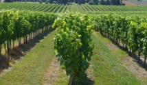 La vigne française obligée de s'adapter aux bouleversements climatiques
