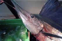 Des quotas dès 2017 pour lutter contre la surpêche de l'espadon de Méditerranée