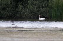 Grippe aviaire: un cas détecté dans le nord de la France parmi des canards sauvages