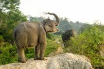 A Sumatra, des éléphants patrouillent en forêt pour sauver leurs cousins sauvages