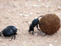 en australie des insectes fran ais pour se d barrasser des mouches envahissantes domtomnews. Black Bedroom Furniture Sets. Home Design Ideas