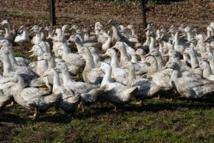 Grippe aviaire: 83 cas recensés dans les élevages du Sud-Ouest, le Gers le plus touché