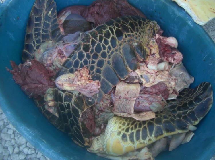 Les tortues braconnées pesaient entre 150 et 180 kilos. L'espèce est protégée. La viande saisie a été détruite.