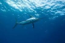 Australie: Un marlin l'entraîne à la mer, un jeune ppecheur miraculé en Australie