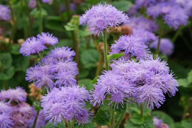 7.Fleurs bleues mauves de putara (Agerate bleue)