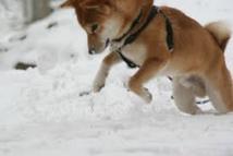 De la neige au goût de jambon affole des chiens slovènes