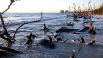 Plus de 80 dauphins meurent en Floride