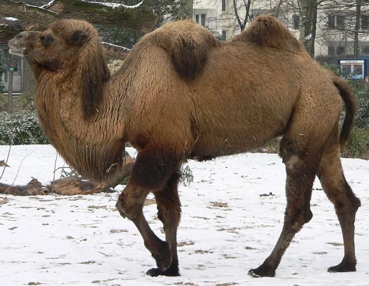 Un chameau se fait la belle et fuit son cirque par la route