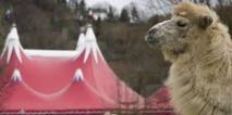 Un chameau échappé d'un cirque capturé sur une route de l'Essonne