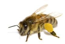 Un virus de l'aile déformée, nouvelle menace pour les abeilles (étude)