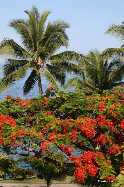 La floraison impressionnante d'un flamboyant, sur fond de cocotiers et de lagon.