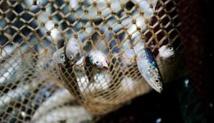 L'aquaculture menace la sécurité alimentaire des pays en développement