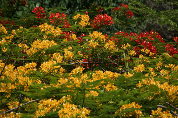 Carnet de voyage - Floraisons de nos arbres tahitiens (2e partie et fin)