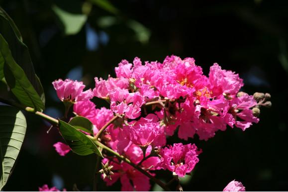 Lagestroemia speciosa - Lilas d'été (variété rose)