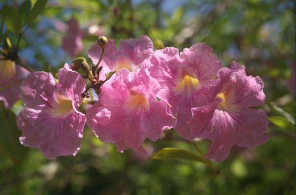 Tabebuia heterophylla - Tabébuia hétérophylle