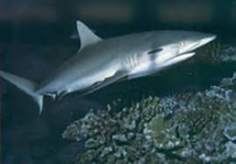 Australie: un requin dévore une chienne