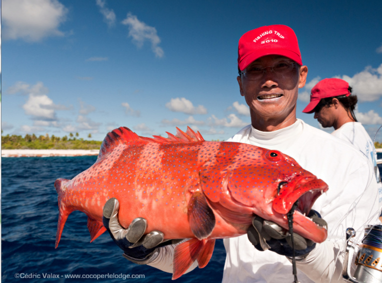 Une superbe loche rouge, poisson comestible à Ahe où la ciguatera n'est pas présente.