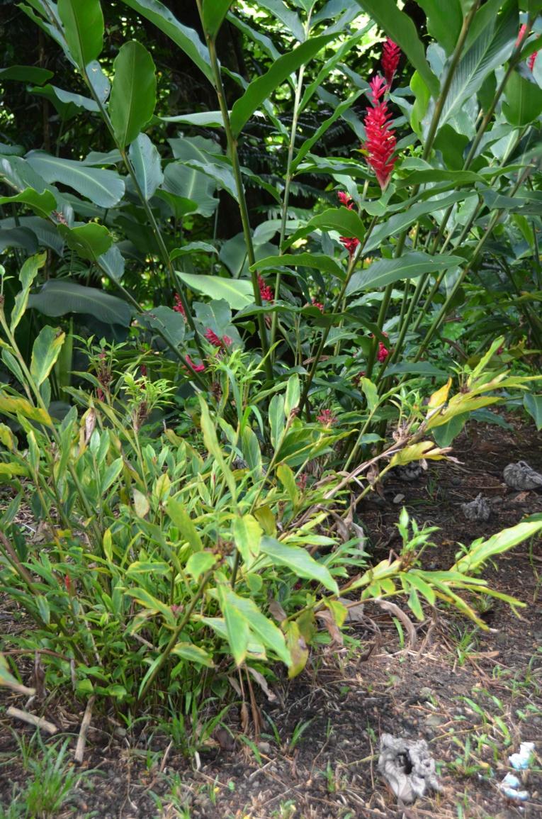 'Ōpuhi malade au premier plan, avec les feuilles jaunes. Les 'ōpuhi sains sont visibles au second plan, en rouge - DR MAurice Wong