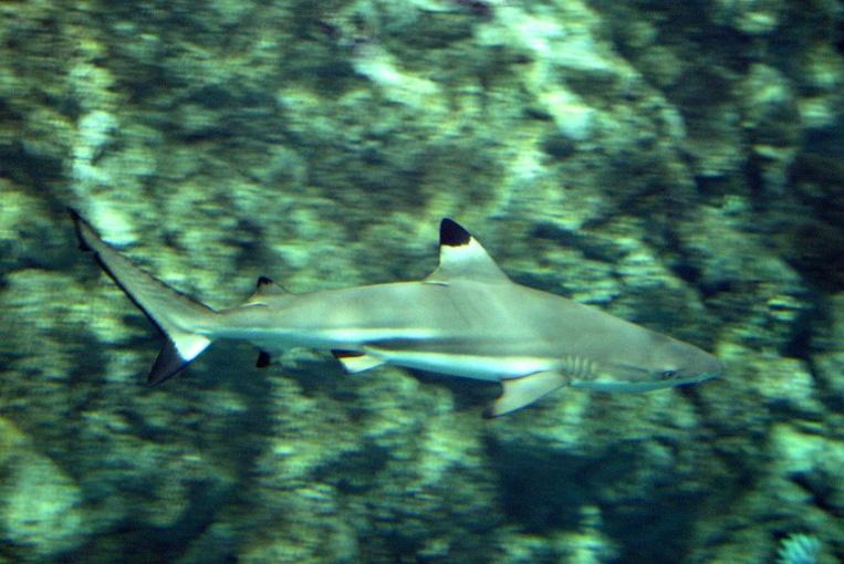 """""""Les requins cherchent la compagnie de ceux qui leur ressemblent"""", décrit Johann Mourier. Photo : AFP"""