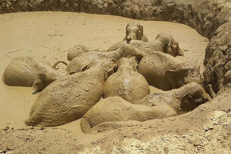 Cambodge: 11 éléphants, enlisés dans un cratère de bombe, secourus
