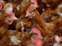 Nouvelle présence de salmonelle dans une exploitation de poules pondeuses